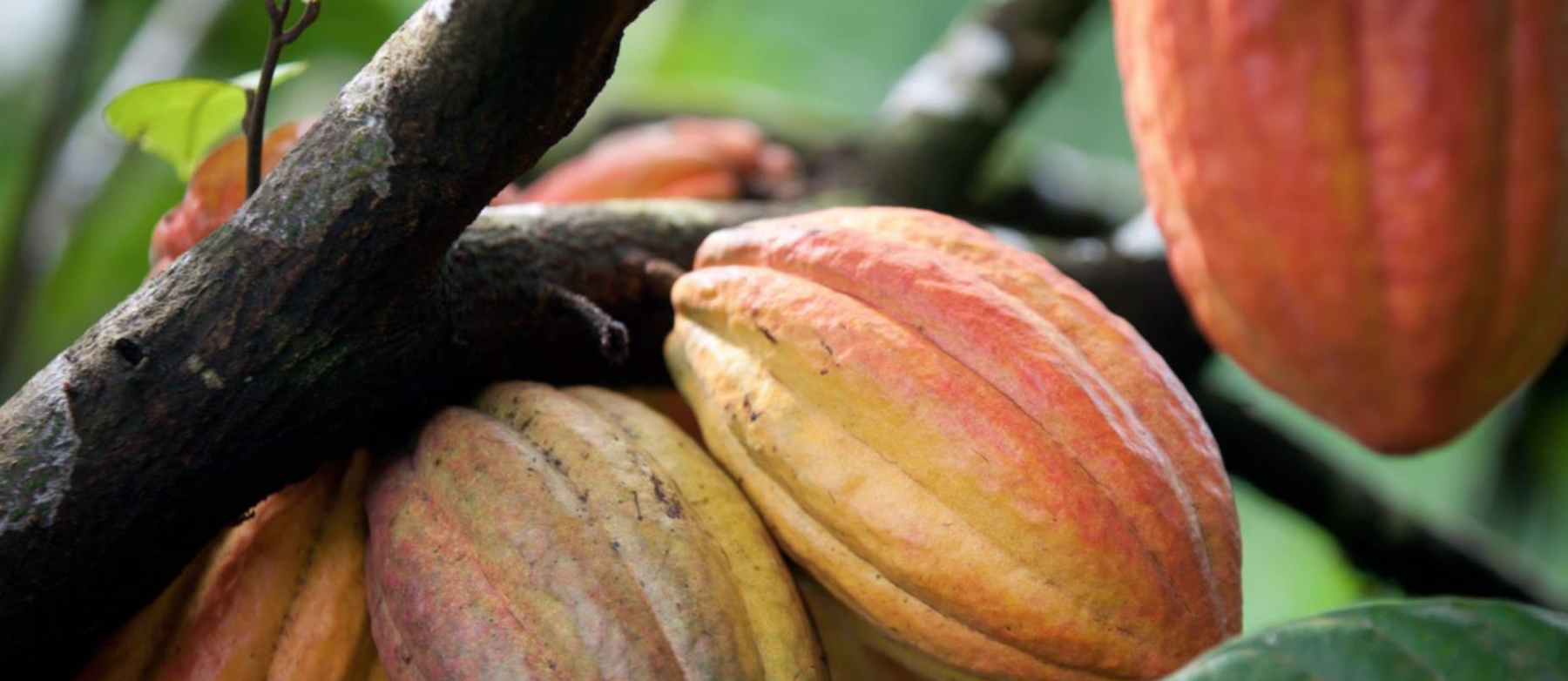 ohso Sustainable Cocoa.